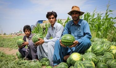 هندوانه جنوب استان کرمان