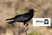 عکس پرنده زاغ نوک سرخ منقار و چنگال و پا قرمز طبیعت محیط زیست بم سحر رشیدی عکاس