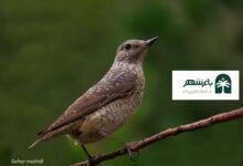 عکس معرفی مشخصات طرقه کوهی باسترک در محیط زیست بم شهرستان باغشهر