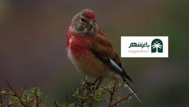 عکس پرنده سهره سینه سرخ نر در محیط زیست بم مشخصات صدای آواز سهره طلایی