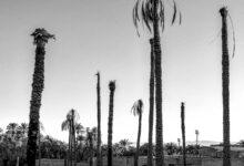 عکس خشک کردن نخل خطر خروج جهانی باغشهر بم